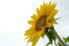 Słonecznik z fuzz Obrazy Royalty Free