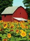 słonecznik z gospodarstw rolnych Zdjęcia Stock