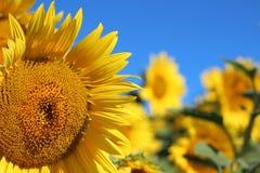 Słonecznik z niebieskim niebem w Newburyport, MA zdjęcia royalty free
