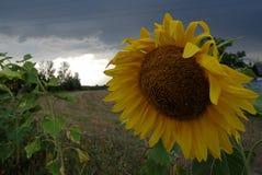 Słonecznik z zmrokiem, burzowe chmury obraz stock