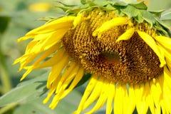 słonecznik ziemia 29 Zdjęcie Royalty Free