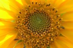 Słonecznika centrum Obraz Royalty Free