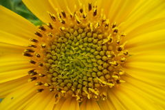 Słonecznika empat Fotografia Stock