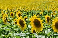 Słonecznika gospodarstwo rolne Obraz Stock