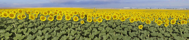 Słonecznika gospodarstwo rolne, Kolorado Obrazy Royalty Free