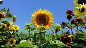 Słonecznika ogród Fotografia Stock