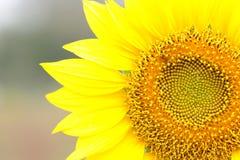 Słonecznika pola otwarty ogród Obrazy Stock