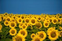 Słonecznika pole Zdjęcia Royalty Free
