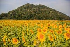 Słonecznika pole Zdjęcie Stock