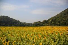 Słonecznika pole Obraz Royalty Free