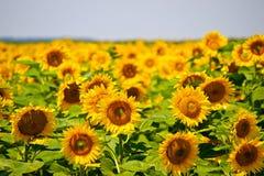 Słonecznika pole Zdjęcia Stock