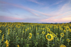 Słonecznika pole Zdjęcie Royalty Free