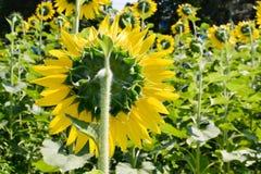 Słonecznika pole na tylnej stronie Obraz Royalty Free