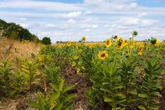 Słonecznika pole pod niebieskim niebem Obrazy Royalty Free