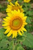 Słonecznika pole przy Saraburi Tajlandia Fotografia Royalty Free