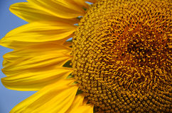 Słonecznika pole przy Saraburi Tajlandia Zdjęcie Royalty Free