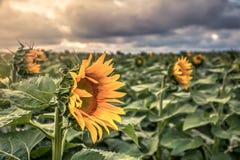 Słonecznika pole przy zmierzchem Zdjęcia Stock