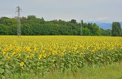 Słonecznika pole w Friuli Zdjęcia Royalty Free