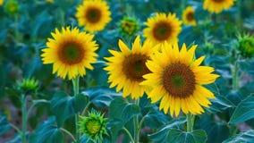 Słonecznika pole w lecie w Valensole zbiory wideo
