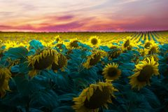 Słonecznika pole w zmierzchu Zdjęcie Royalty Free