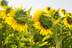 Słonecznika zadek Obrazy Stock