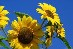 Słoneczniki 24 Fotografia Royalty Free