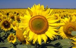 Słoneczniki Zdjęcie Royalty Free
