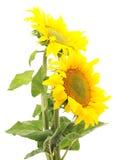 słoneczniki 2 Zdjęcia Stock