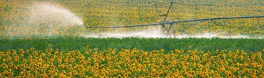 Słoneczniki Zdjęcie Stock