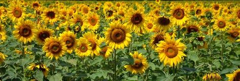Słoneczniki obraz stock