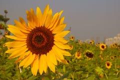słoneczniki bystre Obrazy Stock