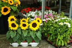Słoneczniki i stokrotki w kwiatu sklepie Obraz Royalty Free