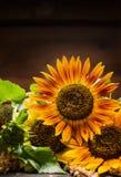 Słoneczniki na ciemnym tle, miejsce dla teksta Zdjęcia Stock