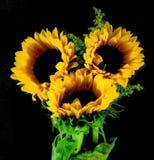 Słoneczniki na czarny tle zdjęcie stock