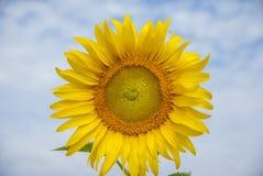 Słoneczniki na niebie Thailand Obrazy Stock