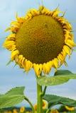 Słoneczniki na polu Zdjęcie Royalty Free