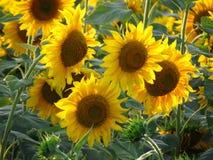 Słoneczniki na polu Fotografia Royalty Free
