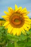 Słoneczniki na polu Obrazy Stock