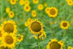 Słoneczniki na polu Obrazy Royalty Free