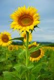 Słoneczniki na polu Obraz Stock