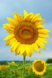 Słoneczniki na polu Zdjęcia Stock