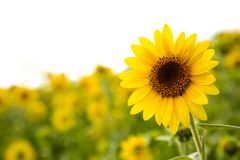 słoneczniki polowe Zdjęcie Stock