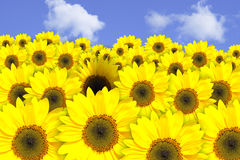 słoneczniki polowe Fotografia Royalty Free