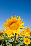 słoneczniki polowe Obrazy Stock