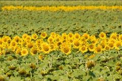 słoneczniki polowe obraz royalty free