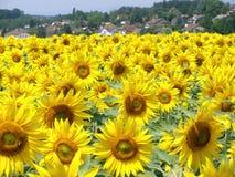 słoneczniki polowe obrazy royalty free