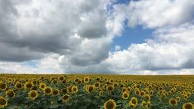 Słoneczniki przeciw niebieskiemu niebu, autum blackmagic ursa mini 4,6k zbiory wideo