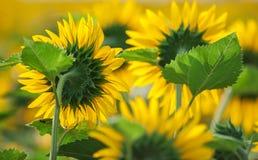 Słoneczniki przy polem w lato Zdjęcie Royalty Free