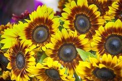 Słoneczniki przy rolnika rynkiem Obrazy Royalty Free