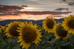 Słoneczniki przy zmierzchem Zdjęcie Royalty Free